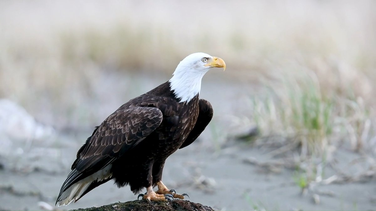 The Bald Eagle is a common sight now—but did you know the species was near extinction just decades ago? In the 70s, just 417 breeding pairs remained in the US. On #WorldWildlifeDay, learn how the species persisted & stand up for the Endangered Species Act: