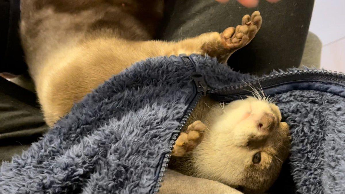 寝にくいのに意地でも服の中で即寝するカワウソ