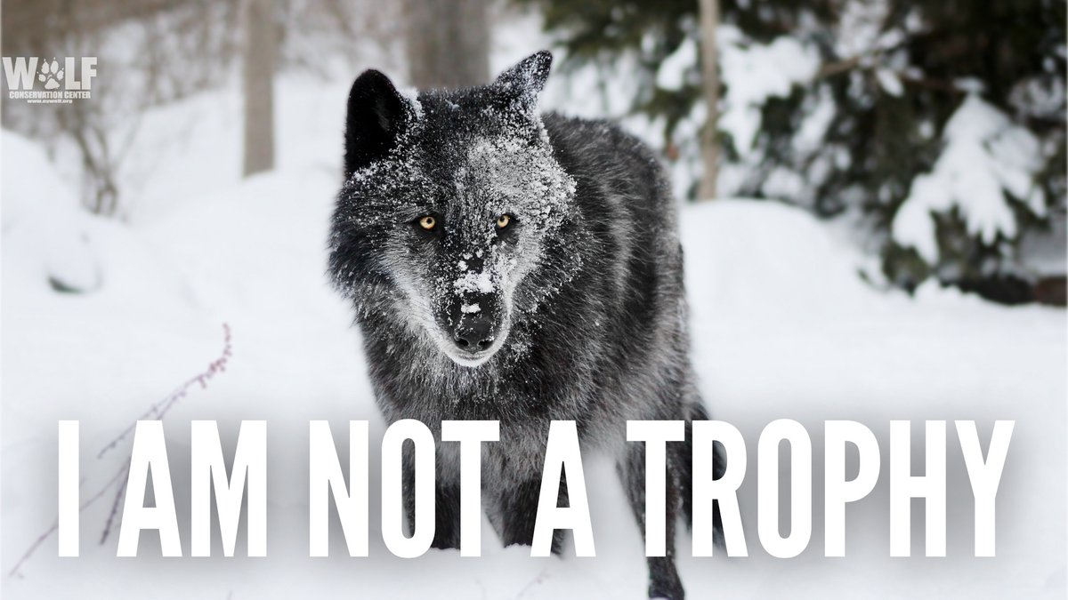 🚨 URGENT Idaho seeks to expand hunting/trapping of wolves: ▪️ Establish a 12-month wolf hunting season statewide ▪️ Allow snaring, including areas that border Yellowstone ▪️ Allow trapping on public lands in more areas ▪️ more  Please TAKE ACTION today ➡