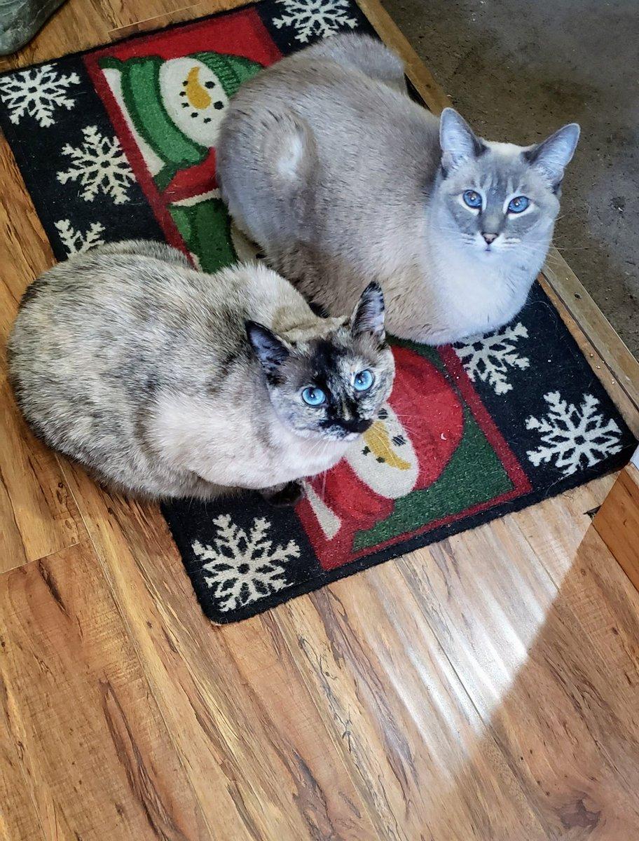 Happy #Caturday ! It's cold and blustery outside🌬❄ warm and cozy inside🐈🐱 @sandyincanada @BrashleyDebbie  @MartinJFitzpat1 @Marina935home @kelly_rdc  @Diablo_Siamese @jolenehunter