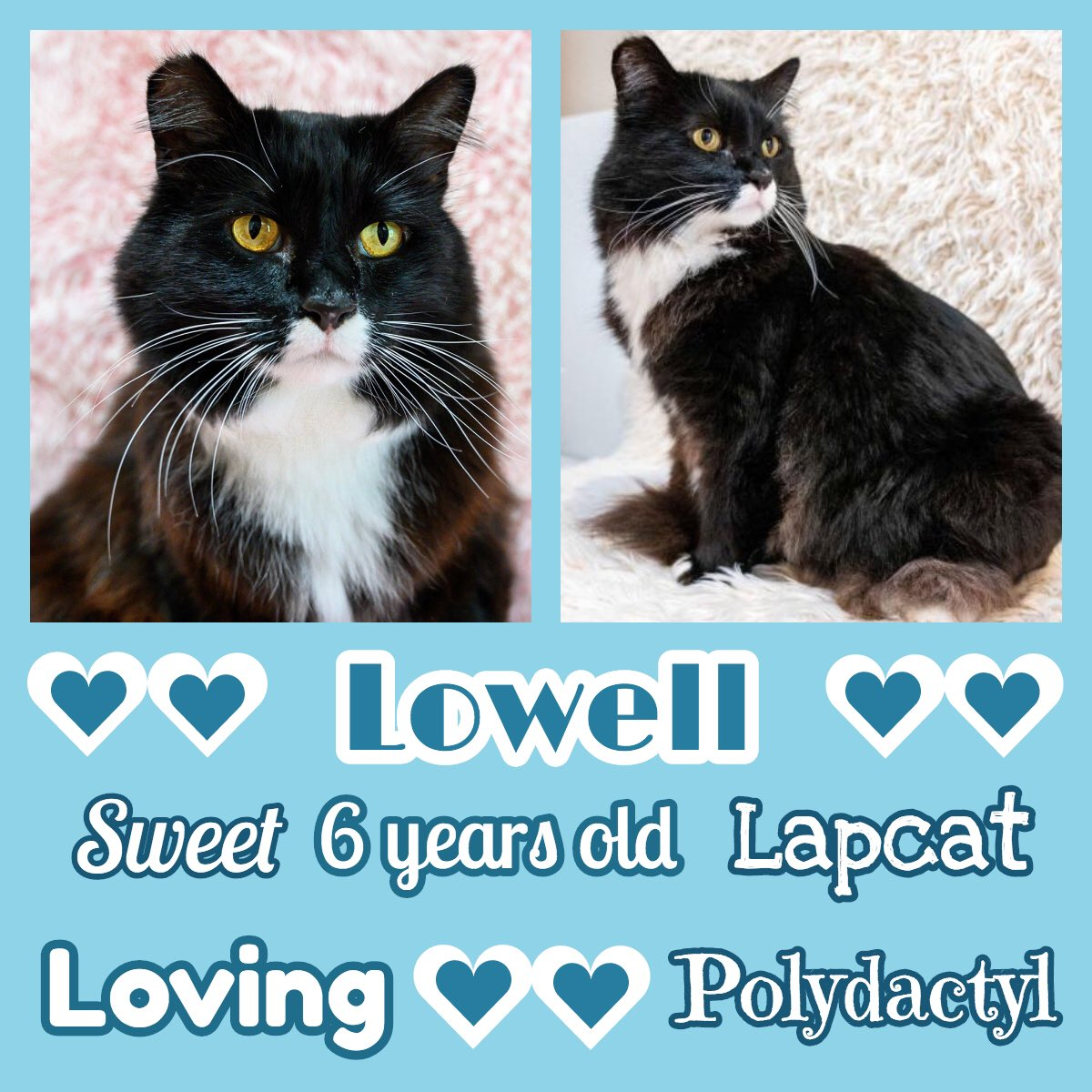 💖 Please RT! #Oakland, CA: Lowell is a large #MaineCoon mix at 15+ lbs, and is a polydactyl - meaning that he has big paws with extra toes! He's an affectionate lap #cat & loves brushing. He has some special needs...   #cats #Caturday #adopt #adoptdontshop