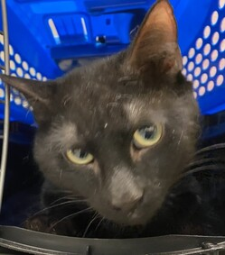 Sauske is a handsome panther who was dumped by his owner. He needs some dental care for gingivitis, but what he really wants is a home. You can meet Sauske at MACC. Give a homeless kitty a home today!