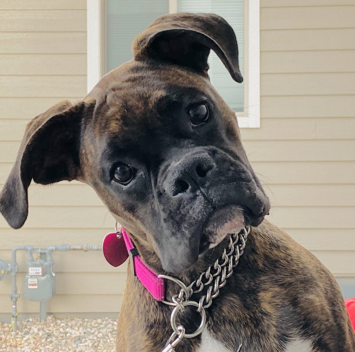 """I do not understand this word """"NO"""" you keep repeating 🧐  #TurdRuby #boxer #boxerdog #puppy #love @bluezed2003 @BoxerBond @BoxerDogUnion @dogcelebration @BoxerRescueVT @PetsNCritters"""