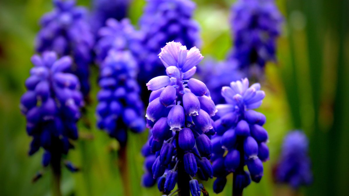 Grape Hyacinths popping up around everywhere love em #Hope #Photography #Nature #Gardening #Nature #Blue