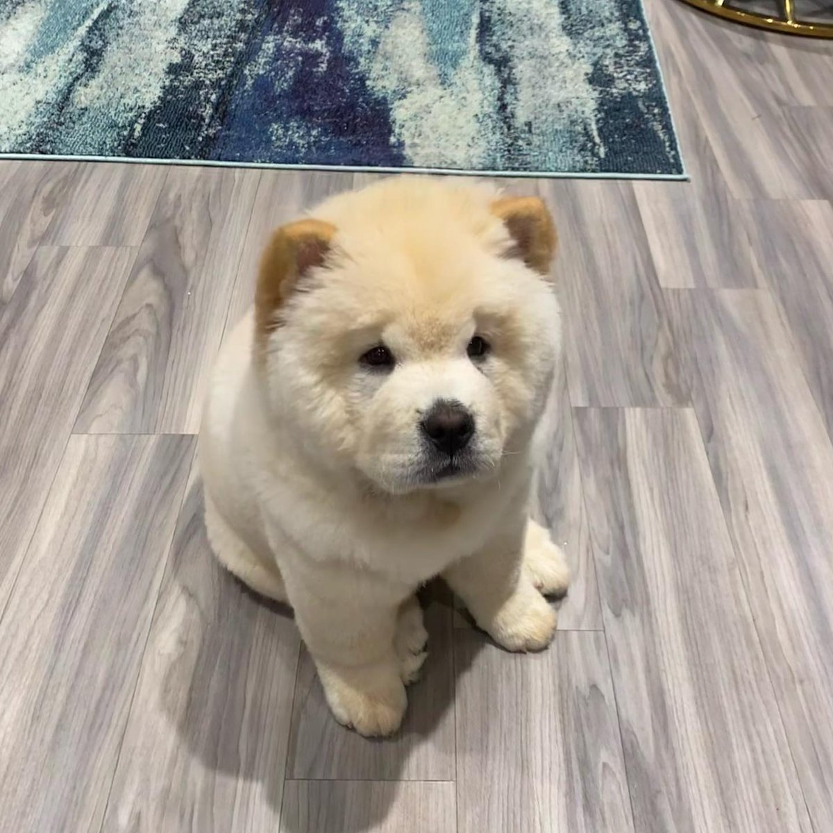 #SundayFunday  .. with  🐶 Cesar - the cutest Chow Chow pup around😍🤍 Everyone can express their opinions in the family, right? 🐾 😉 ✨  - 🎥 credit @cesar.the.chow - #weekendvibes #pets4homes