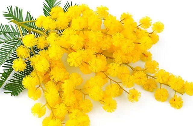 #mimosa