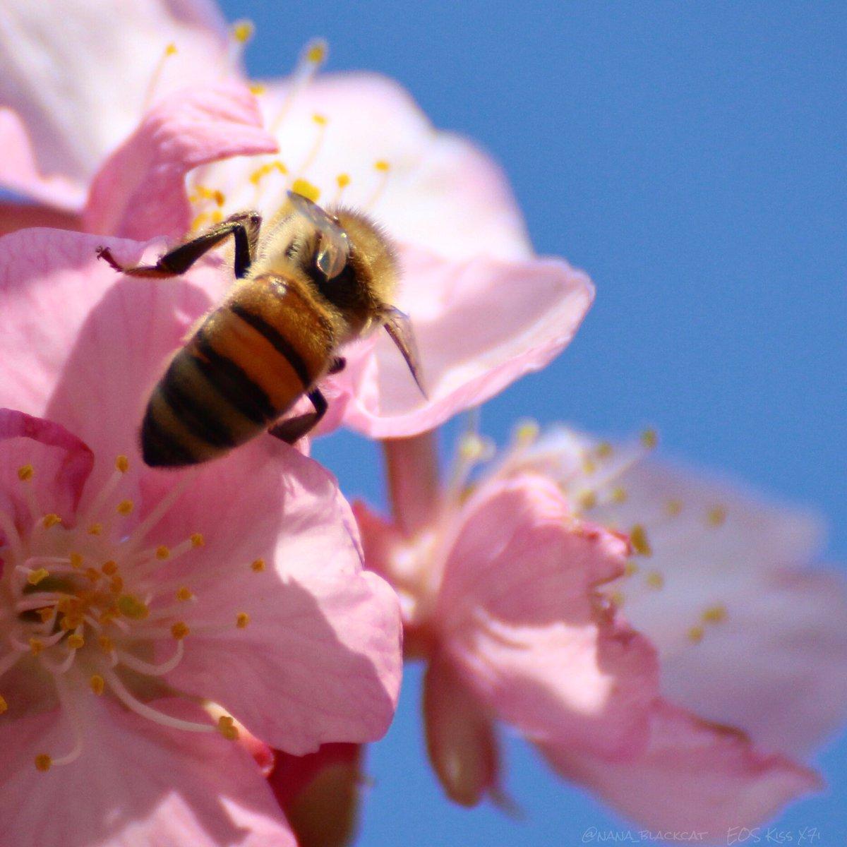 今日は3月8日、 #蜜蜂の日 だそうです🐝🐝🐝  #写真好きな人と繫がりたい   #しんやとよーへい #NAGASE写真教室 #河津桜 #蜜蜂 #利根河川敷  #photography #photo  #PhotoOfTheDay  #KawazuCherryBlossoms #HoneyBee