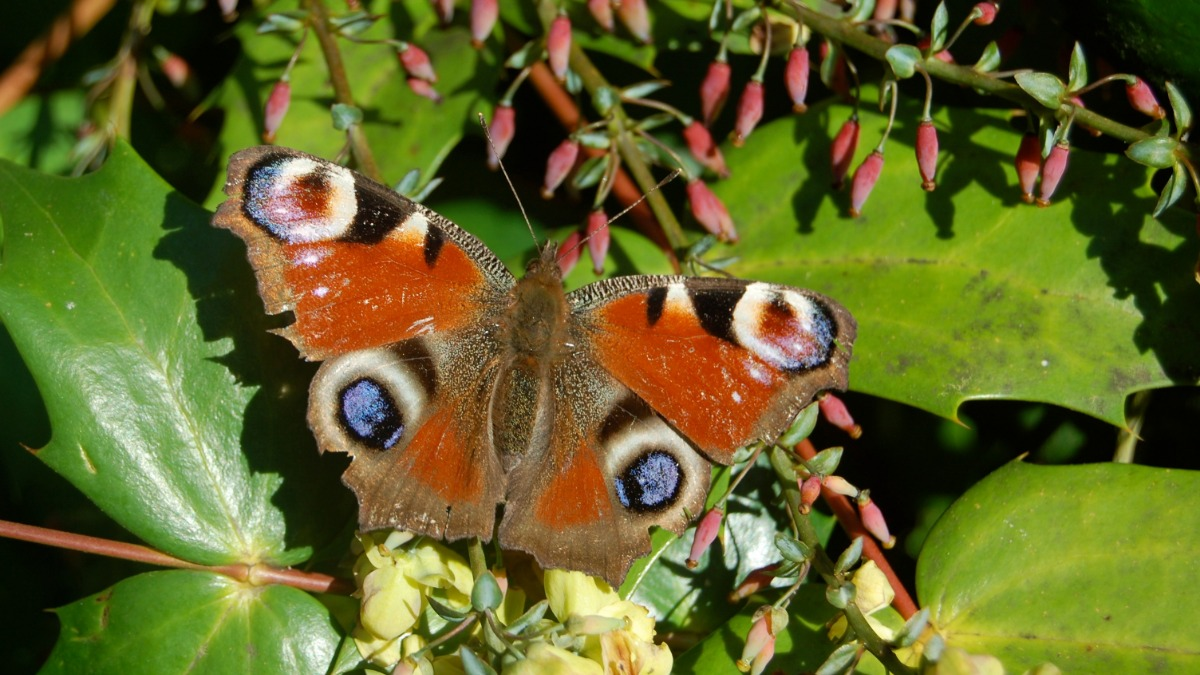 I love this time of year.  Not long until we spot one of these, hopefully. #peacockbutterfly #nature