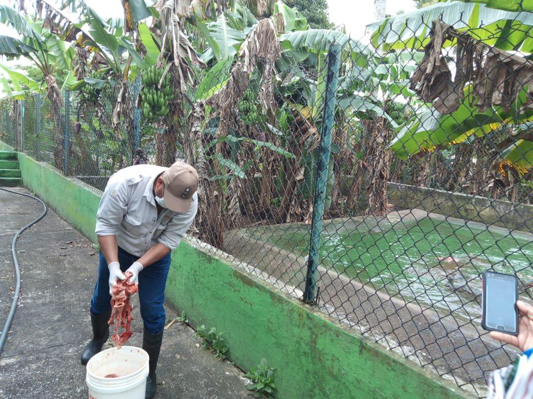Preparación y entrega de alimento a ejemplares reproductores en la UMA Aj Juts Kn Pacam (Cocodrilo Amarillo). https://t.co/w7qsOWHw2V
