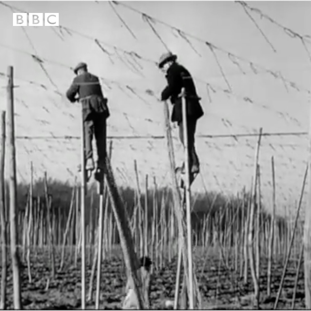 #OnThisDay 1949: Hops were being tended to the old-fashioned way – on stilts. Hopefully beer drinkers raised a glass to these brave farmers.