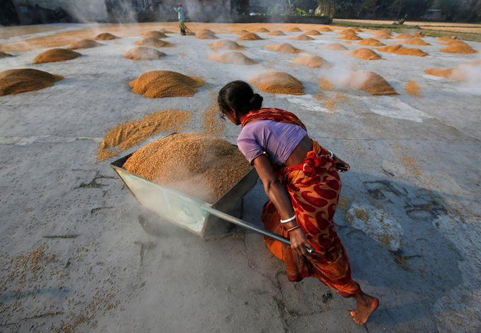India expected to harvest record wheat, rice crops this year Photo