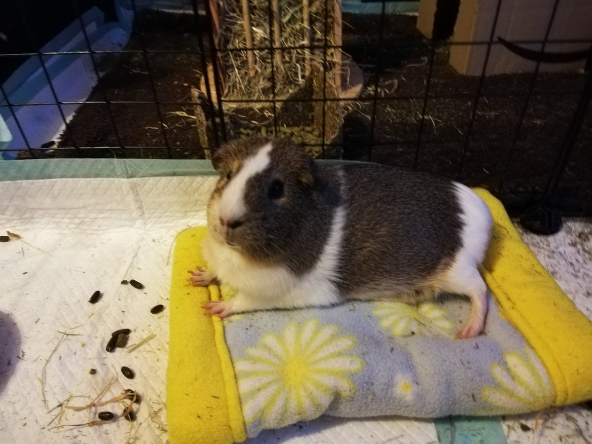 """""""Aren't I fabulous?! You'll have to excuse the poops. The human slave is running late."""" #guineapig #piggy #CuteAnimals #animals #animal #animallovers #AnimalWelfare #PetsAreTheBest #pets #petstagram #rodent #cutepetclub #cavy #Loveanimals #LoveYourPetDay #NationalLoveYourPetDay"""
