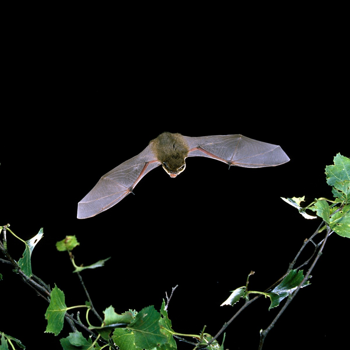 All 10 species of bats found in Scotland are protected, it's an offence to capture, injure or kill a bat.   It is also a strict liability to damage a roost, meaning being unaware of the roost is no excuse.   Visit ➡️ https://t.co/pVgrNYFvHq to find out more.  #EndWildllifeCrime https://t.co/8OyoKqlprT