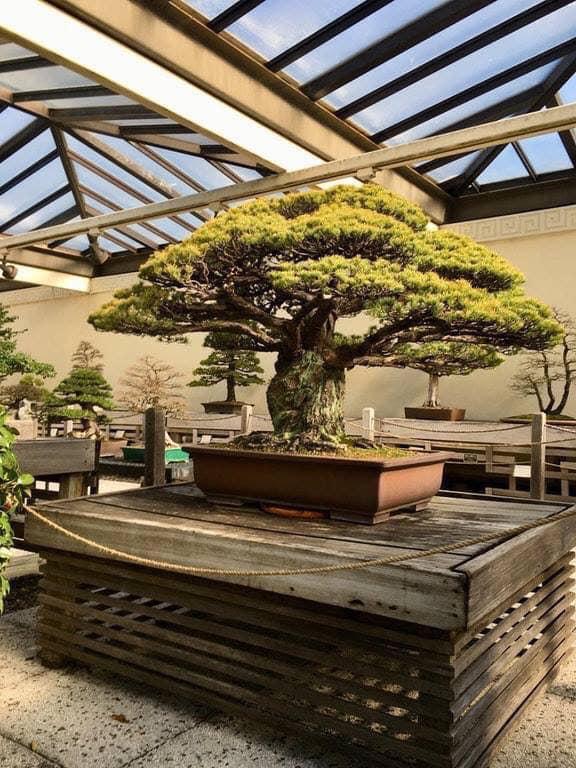 ئهمهی دهیبینن درهختێكی بۆنسایه كه تهمهنی چوار سهد ساڵه. ئهم درهخته رزگاربویهكی هێرشه ئهتۆمییهكهی سهر هیرۆشیمای یابانه. This 400 year old bonsai tree survived the bombing of Hiroshima in Japan.