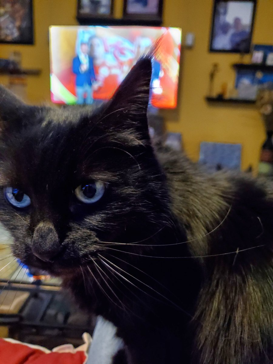 """Replying to @andrewsfsd: @TeaRylaks @BitchestheCat Raja kitty (not a """"kitty"""" per se at nearly 13...)"""