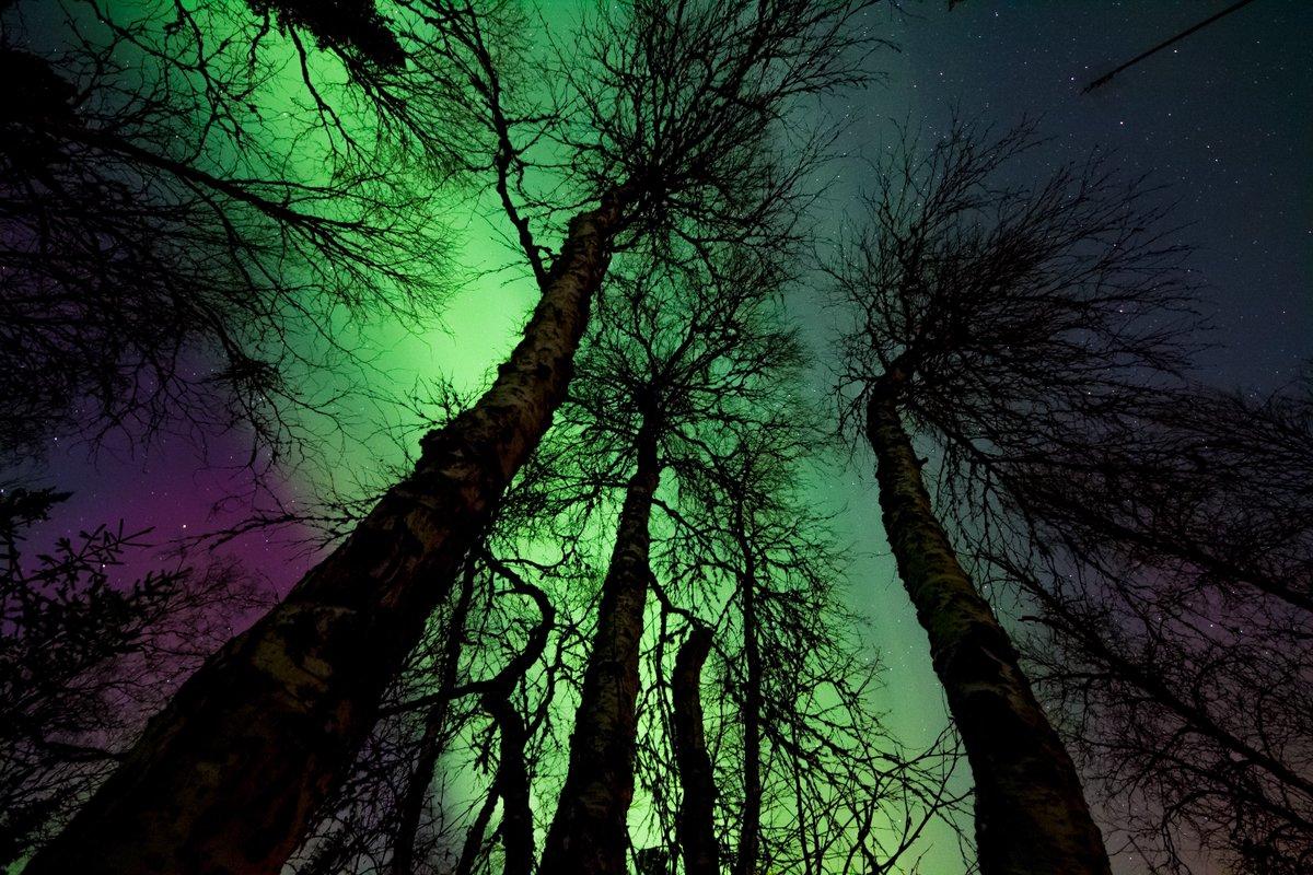 Enjoy the beauty of aurora borealis  peeking through the trees, and have a good  night.  #goodnight #GoodNightEveryOne #GoodNightTwitterWorld #auroraborealis #Sky #Sleep #nature #awe #beauty