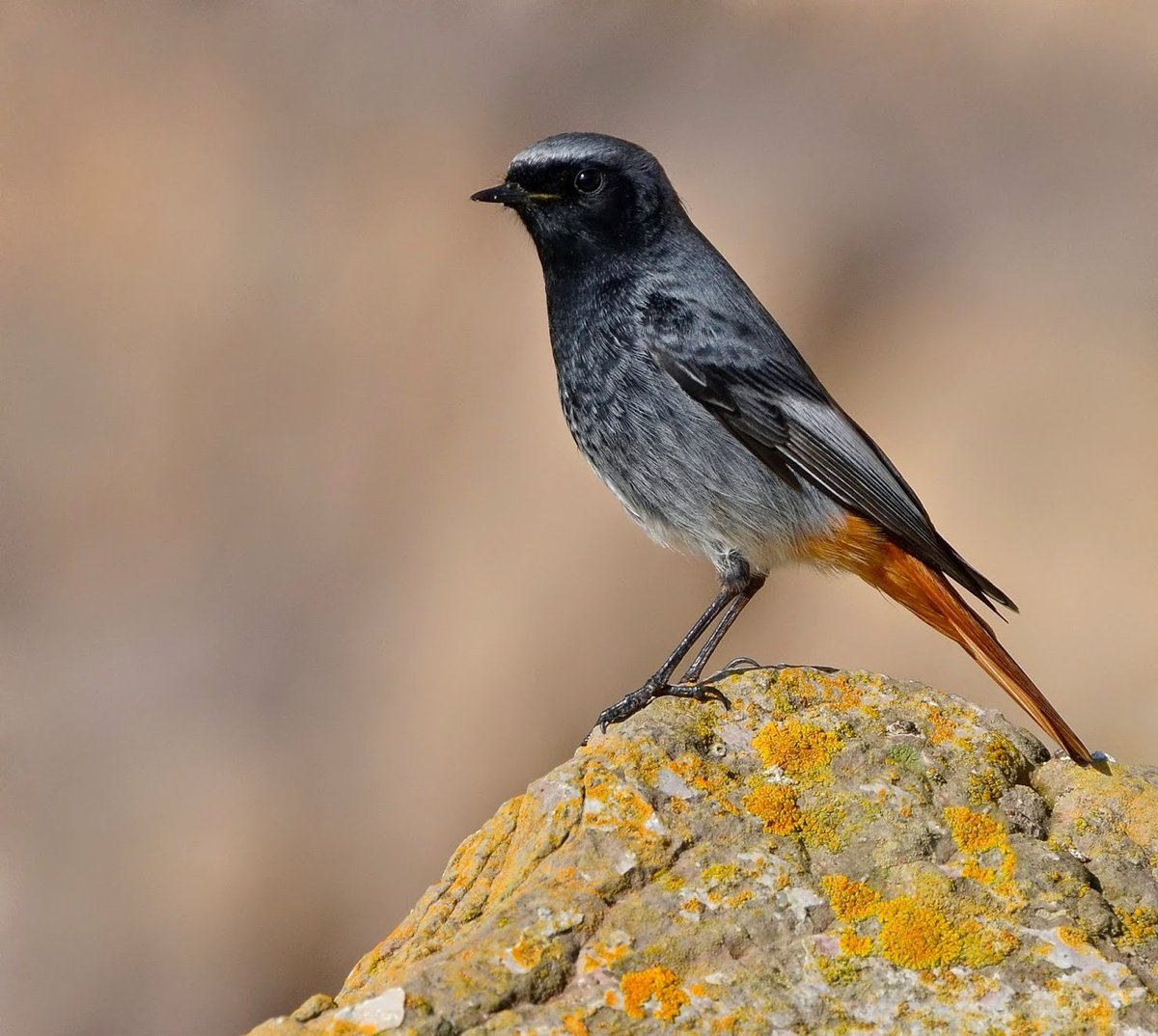 Just how beautiful is a male Black Redstart? 😍  Taken a few years ago at Brean Down in Somerset. 😊 #MoreBirdsLessPolitics 🐦