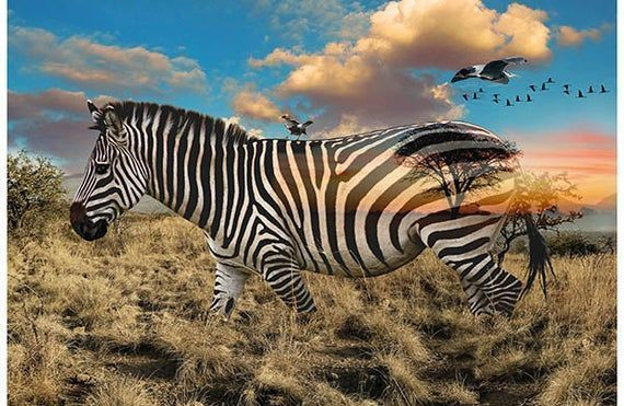 #New in my shop!  #Spectacular #Zebra #fabicpanel from from #hoffmanCalifornia Spectrum #Digital  #Quiltingcotoon #Quilting #Fabric #sewing The detail is #amazing  #CalloftheWild