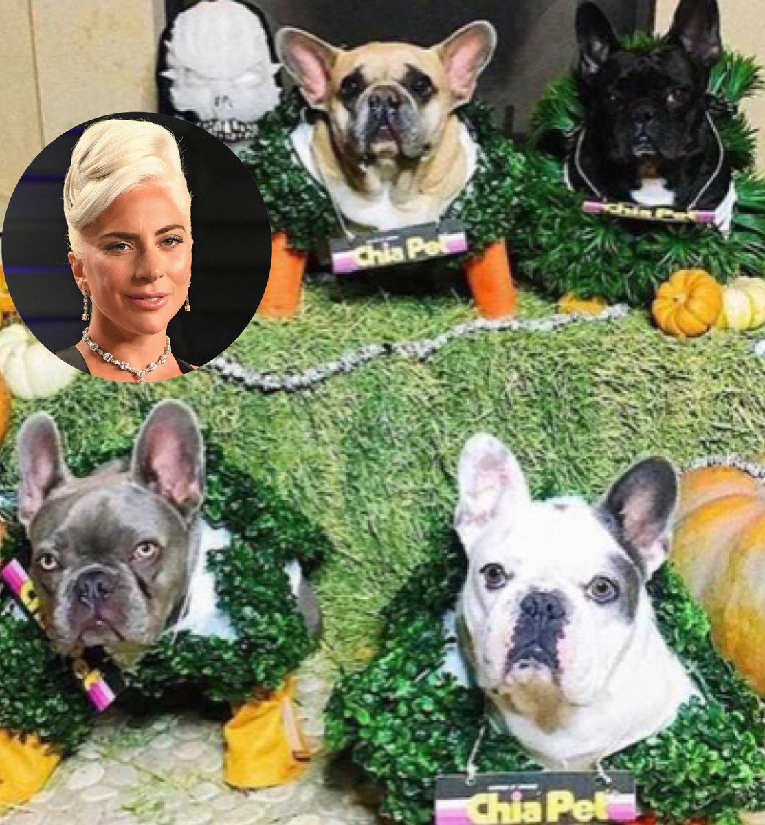 Lady Gaga's dogs were targeted by thieves last night. The thieves shot her dog walker and stole 2 of her French Bulldogs.  🔗: