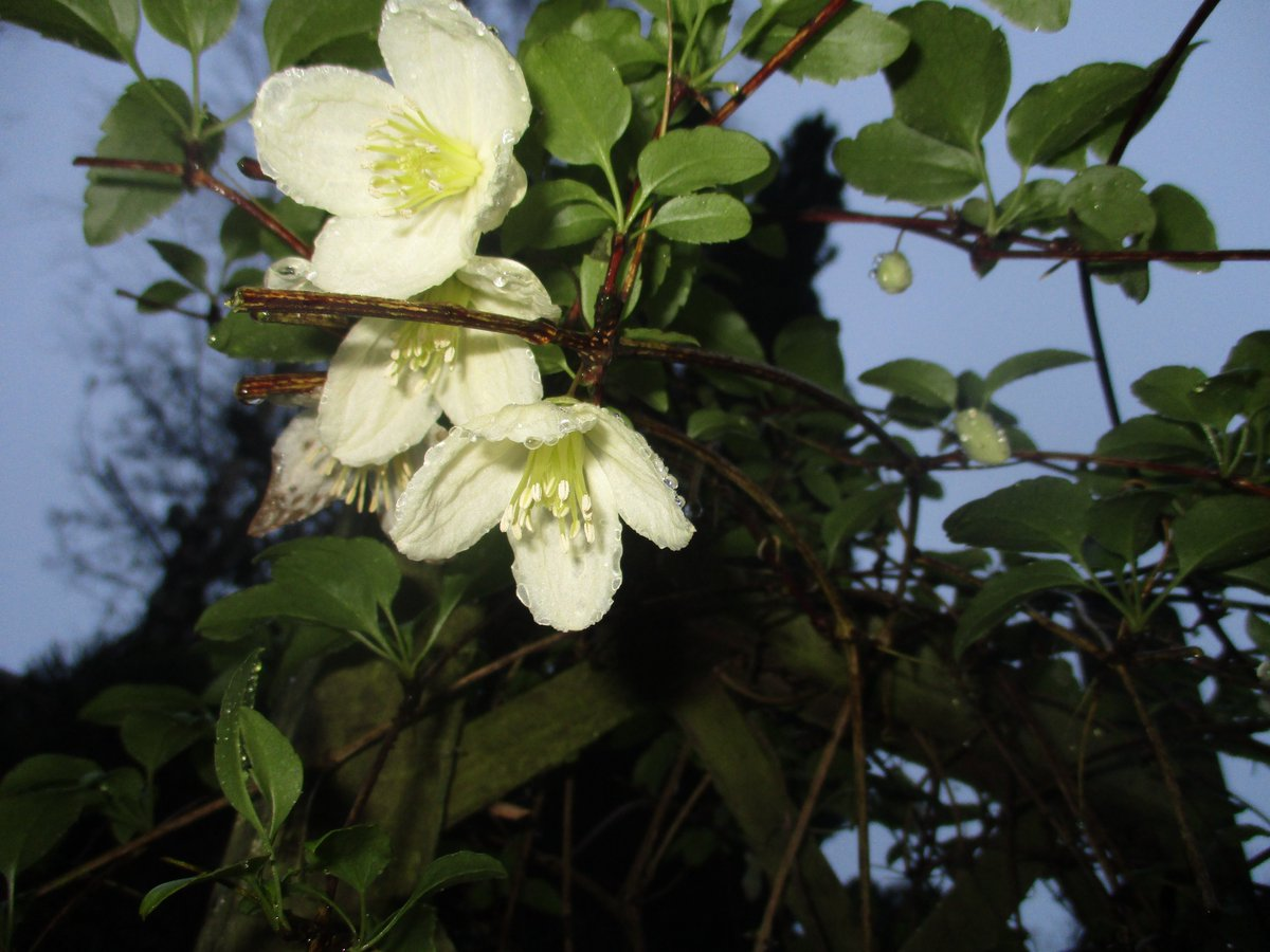 #Thursdaymorning want to share with you my  wonderful winter flowering clematis. see