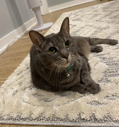 🚨 Foxy lady alert!  Pebbles is a chonky sweetheart who purrs whenever you're by her side.  She also has tons of experience watching the neighborhood squirrels run around the backyard!  Learn more →