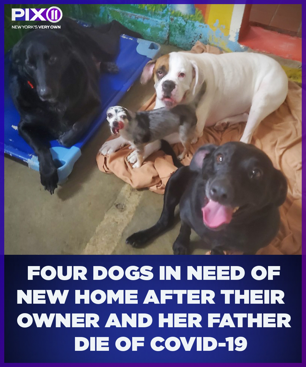 Four adorable dogs are in need of a new home after their Long Island owner and her father both died from the coronavirus earlier this month, just days apart, according to the Nassau County SPCA. Learn more about how you can adopt these sweet pups: pix11.com/news/coronavir…