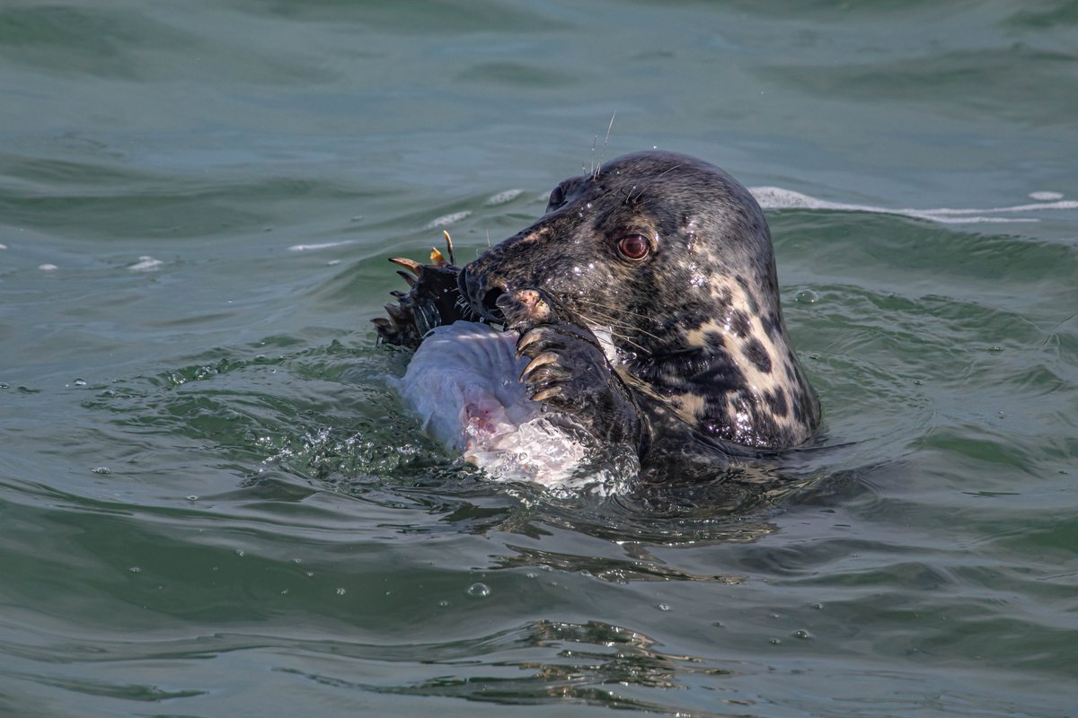 RT @radareggleton: I had a walk around Portland today and spotted this Grey Seal eating a Conger Eel on the Bill https://t.co/kDQVlosC5O