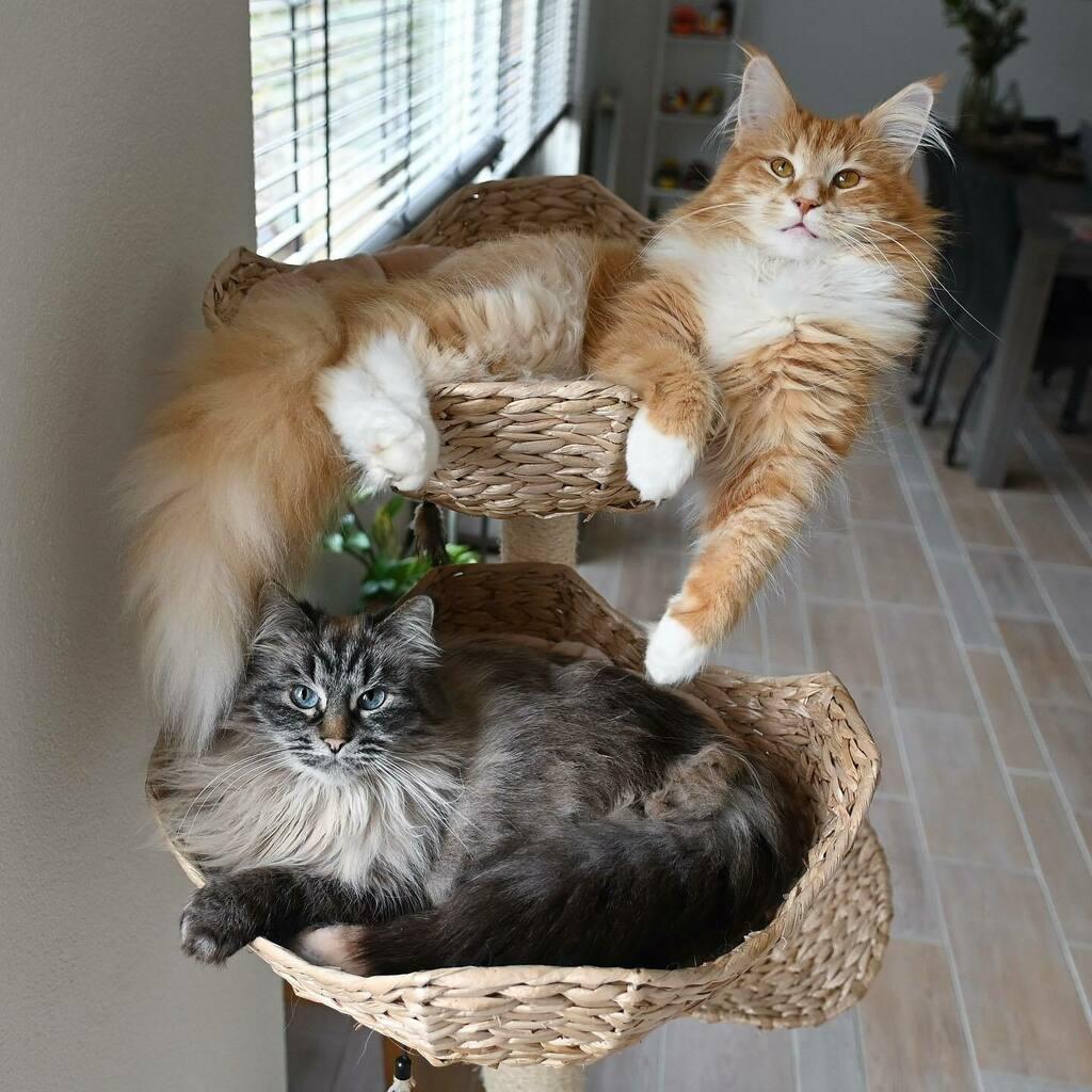 Our daily spot for a nap together! 🧡💙    #cat #cats #kat #katten #catsofholland #kattenvannederland #catsofinstagram #weeklyfluff #junethekitty #thekittyjazz