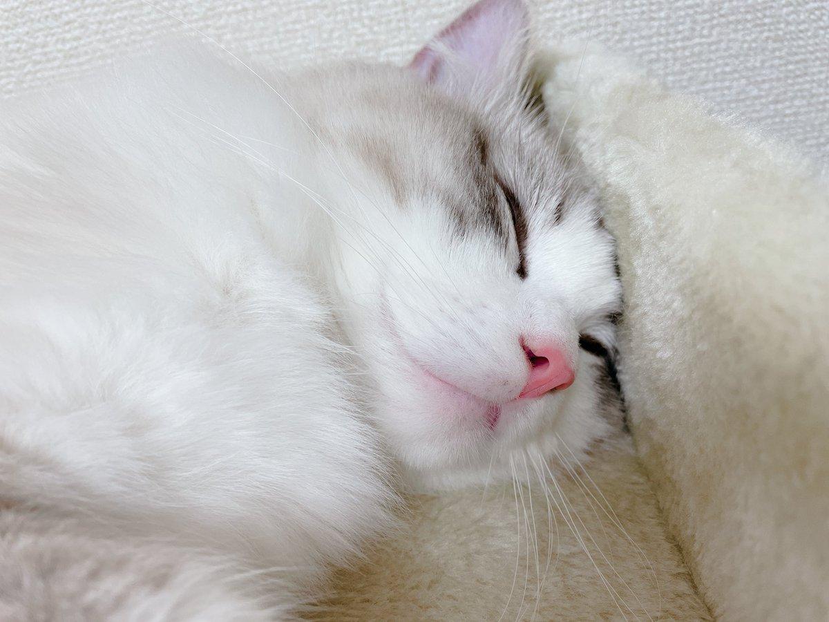ついにここがあおよりも重くなりました! ただでさえケンカで負け気味なのに、一緒に遊べるようになったら大変だねお兄ちゃん  あおは月齢十ヶ月の♂で3.9㌔なので、やっぱり小柄なんですね…  #ラグドール #ragdoll #猫好きさんと繋がりたい #猫のいる暮らし #cat #猫