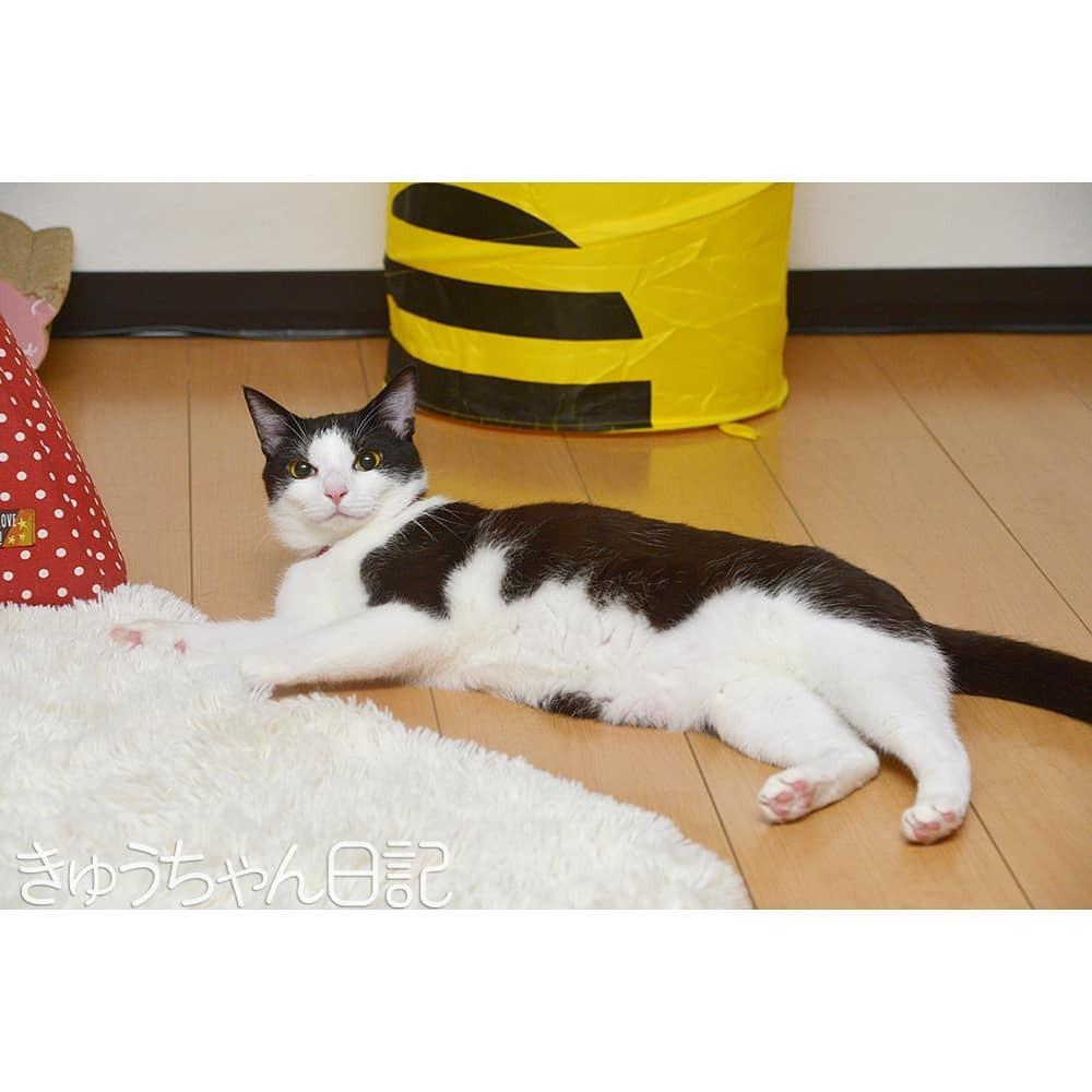 #きゅうちゃん #きゅうちゃん日記 #猫 #ねこ #ネコ #白黒猫 #白黒猫きゅうちゃん #ハチワレ猫 #はちわれねこ #かわいすぎてこまっちゃう #にゃんすたぐらむ #cat #blackandwhitecat #cute #cutecat #catstagram #instacatsgram #felixcat #tuxedocat