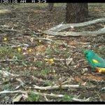 Another beautiful parrot at Charles Darwin Reserve: a Mulga Parrot (Psephotus varius) foraging under a Quandong (Santalum acuminatum). #BadimiaCountry @BushHeritageAus  #SantalaceaeScience @ilwscsu  #WildOz @ParrotOfTheDay