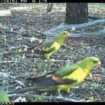 Wowsers! Four Regent Parrots (Polytelis anthopeplus) foraging under a Quandong (Santalum acuminatum) tree at Charles Darwin Reserve. #BadimiaCountry @BushHeritageAus #SantalaceaeScience @ilwscsu #WildOz @ParrotOfTheDay