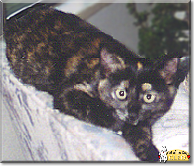 Celebrate #fluffyfursday with #colorful Cleo, a #tortoiseshell #Burmese #kitty #love - read her tale at  #catoftheday  #catoftheday #cats #catsofinstagram #cat #CatsOfTwitter
