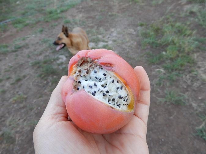 おにぎりにしか見えない、ぺルビアンアップルカクタスの実が美味しいらしい!