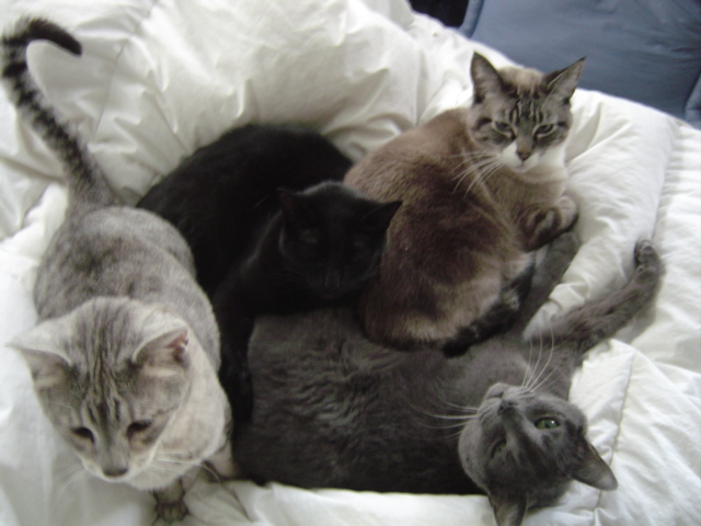 Every night, Pixel fell asleep in my arms, Kato on my hip, Meera behind my knees under the covers & Boris on my feet over the covers. In the morning, they were always like this. They all loved each other so much. #ThrowbackThursday #CatsOfTwitter