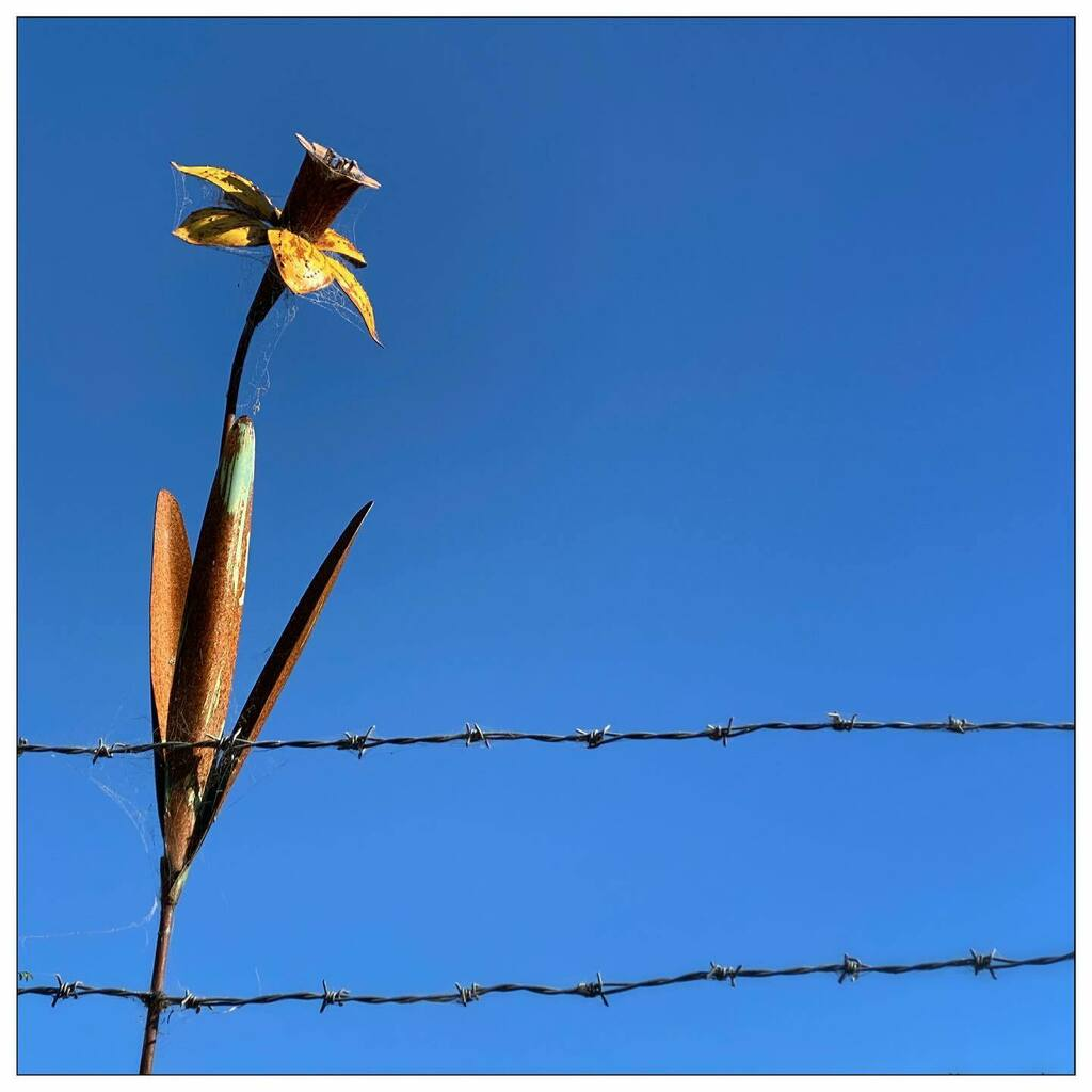#bluesky & #daffodil #sculpture behind #barbedwire #PiperStreet #Kyneton #Victoria #Australia #photooftheday #iphoneonly