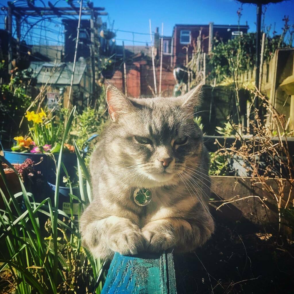 Señor Monorail, calling at: Ogdenville, Brockway, North Haverbrook and Catford.  #Señormiow #MonorailCat #Cat #GardenCat #IsThisSpring #HasSpringSprung #Outdoors #GardenTime #Kitty #Chat #Neko #Gato #CatfordCat #CatsOfCatford #FirstSignsOfSpring #BlueSki…