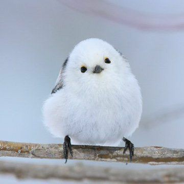 Japanese Hokkaido Bird  #Japan https://t.co/Woss1wBGG0
