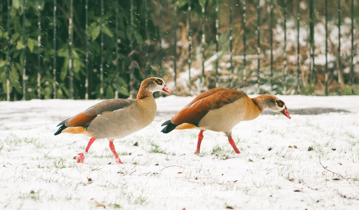 📷 Egyptian Geese taking a walk in the snow. ❄️  #flashbackfriday #snow #nature #geese #photography #london #birds #birdsnature #birdslife #LondonNature #uknature #naturelife #geesephotos #TwitterNatureCommunity
