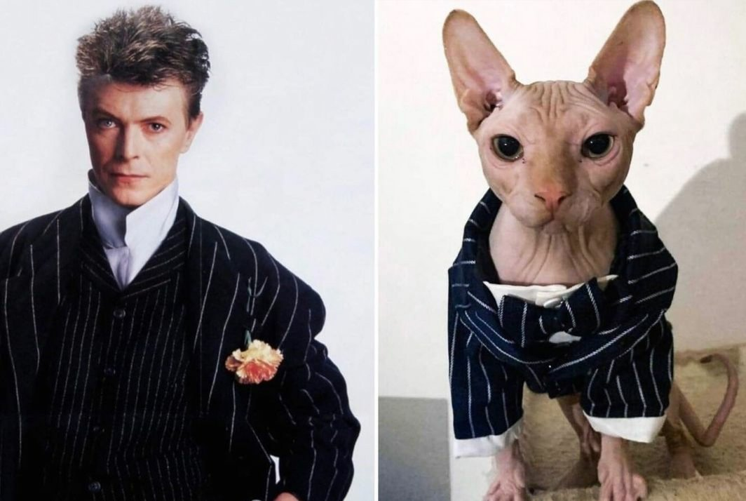 The COOLEST human verses the COLDEST cat.  But who is the coolest?  Bowie verses Sphynx cats #CatsOfTwitter #cats #DavidBowie #bowie