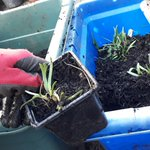 Image for the Tweet beginning: Potting up some edible #alliums