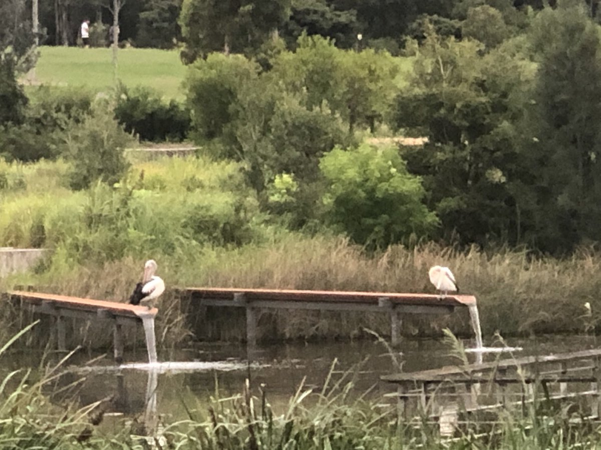 This morning's joy, 2 #pelicans have taken to roosting on the #waterfall pipes in #SydneyPark