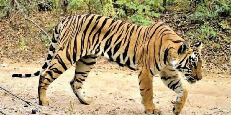 #Avni the tigers whom no one killed in Maharashtra, gross injustice to the wild creature. Will it be same for humans, I ask. Saddened by what Supreme Court said today she was killed on its order. Here is alive picture of her. If you feel appalled, please retweet   #tiger #india