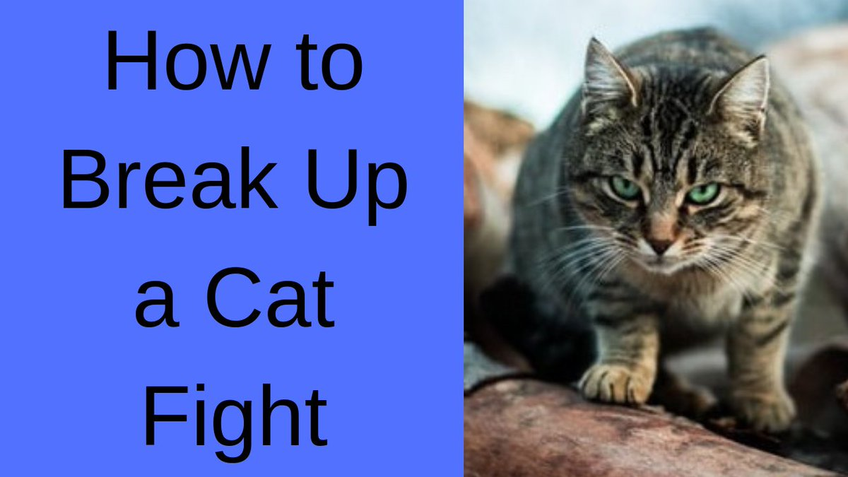 How to Break Up a Cat Fight [Separating Fighting Cats] #breakupcatfight #cats #catsfighting
