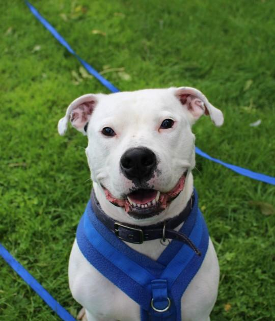 Please retweet to help Nigel find a home #WATFORD #HERTFORDSHIRE 🇬🇧  Aged 3, looking for adult home with experience of big breeds, he's enjoying training, best as only pet, loves humans, American Bulldog Cross, see details👇   #dogs #dogsoftwitter