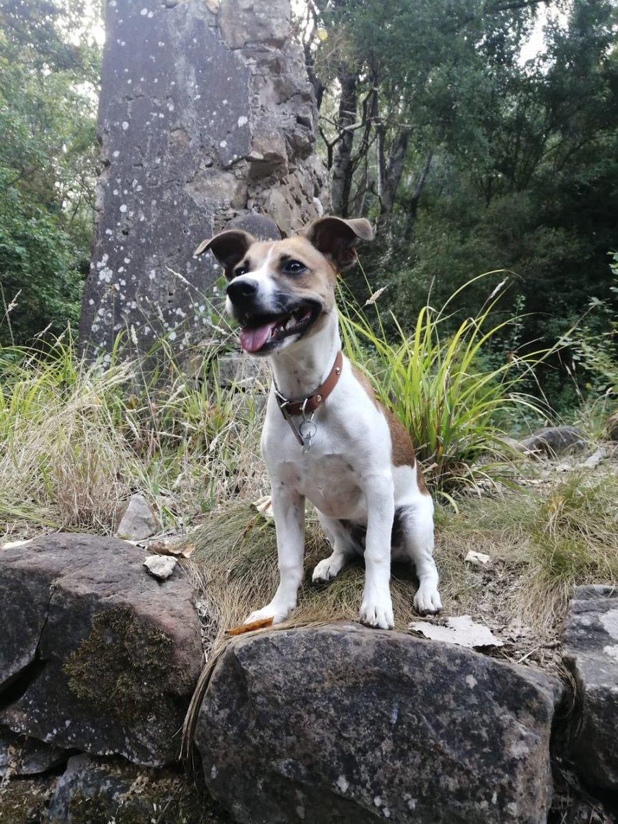 Smiiiilllleeee #puppy #dogsoftwitter #dogs #JRT