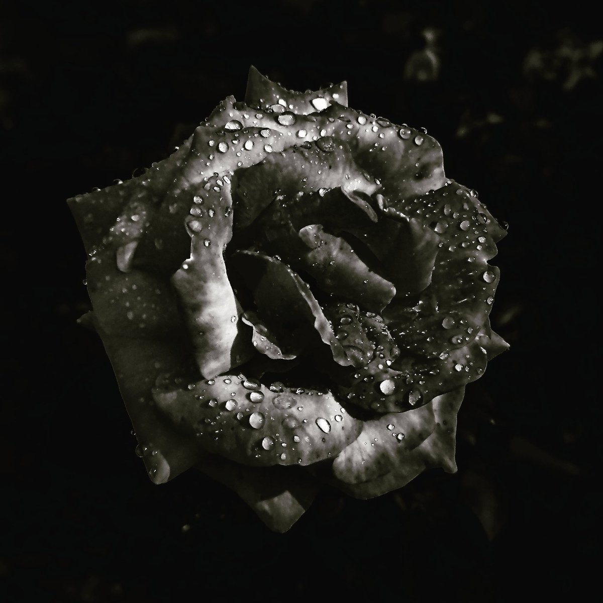 #bw #blackandwhitephotography #black #Raindrops #RAIN #Rosehip #RosesAndRose #rose #FlowersOnFriday #Flowers #flower_is #FLOWERFLOWER #flower #flowerknows #flowerpower #flowerphotography #Hungary #Theme #photooftheday #PHOTOS #PhotographyIsArt #photograghy #photographyislife
