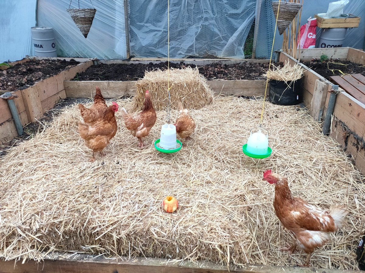 Another great example of housed #Poultry with lots of enrichment – straw bales, earth for scratching, fruit & hanging baskets to perch on. You could add a mirror or play music! Listen to this webinar for more tips: https://t.co/lzQQhloe6o #HappyHens #Enrichment #BirdFlu https://t.co/QtvgAqIQRK