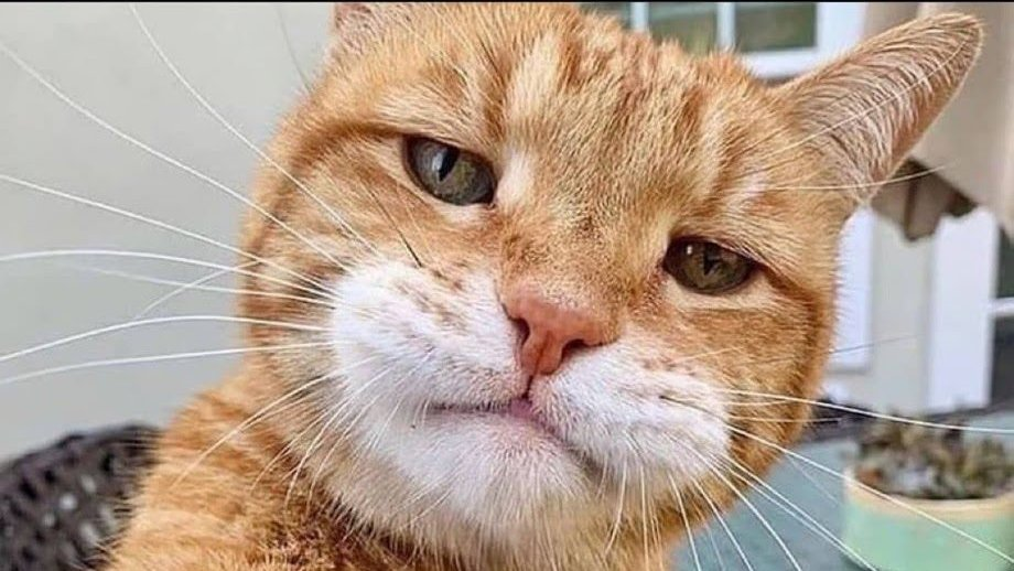 My Ginger Tabby Mylo's face when he found out I forgot it was #NationalLoveYourPetDay last week. #CatsRule #caturday #cats #CatsOfTwitter