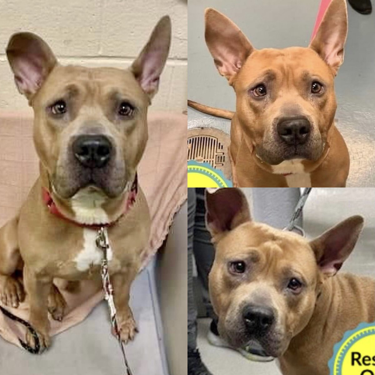 """UNTRAINED, LEFT TIED TO A BENCH BY HIS """"FAMILY,"""" KING PRESTO #111030 DIES SUNDAY. He's sad, scared, and on top of everything else he has Shelter Cold. He needs meds, help, training - and rescue pledges via @TomJumboGrumbo -not death. PLEASE RT KING PRESTO!"""